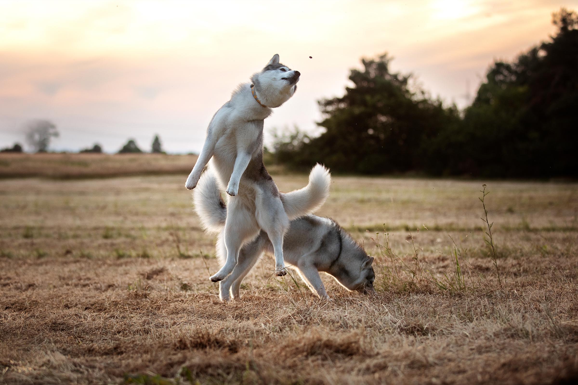 Siberian Husky - Akima & Lubaya - Siberian Husky Züchter