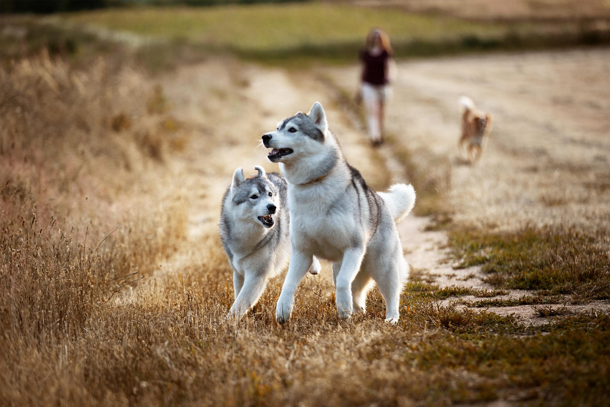 Mountainpeak's Snowdogs - Siberian Husky Züchter - Lubaya & Akima