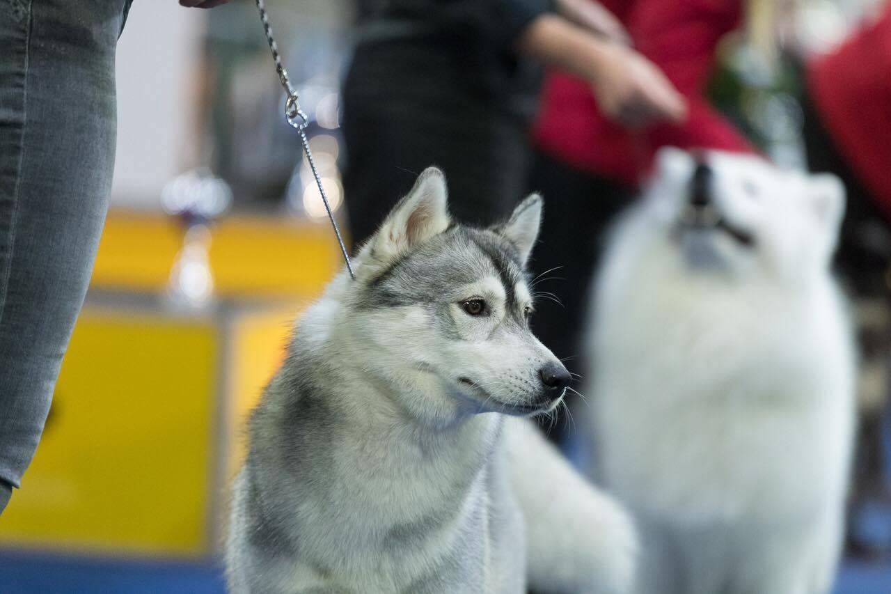 Ausstellung - Siberian Husky Züchter