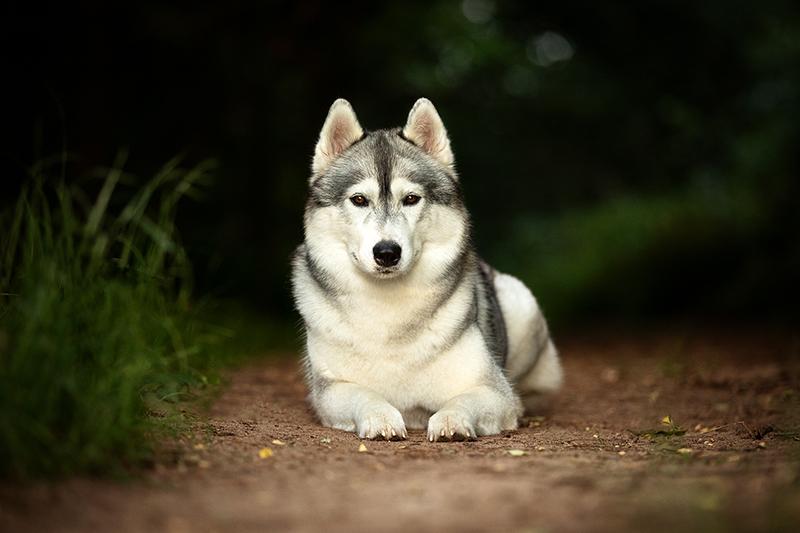Mountainpeak's Snowdogs - Siberian Husky Züchter - Akima