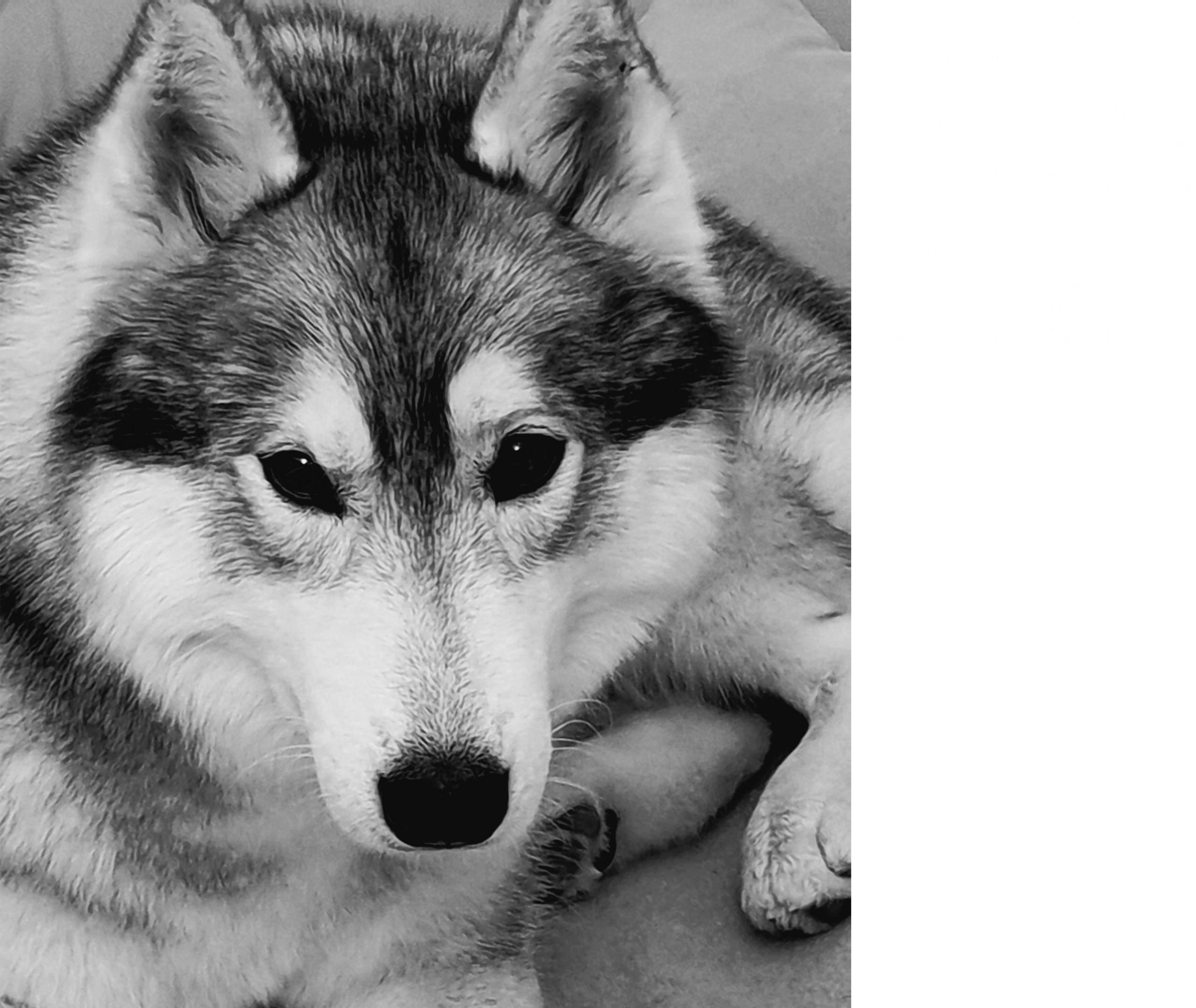 Siberian Husky - Lubaya - Siberian Husky Züchter