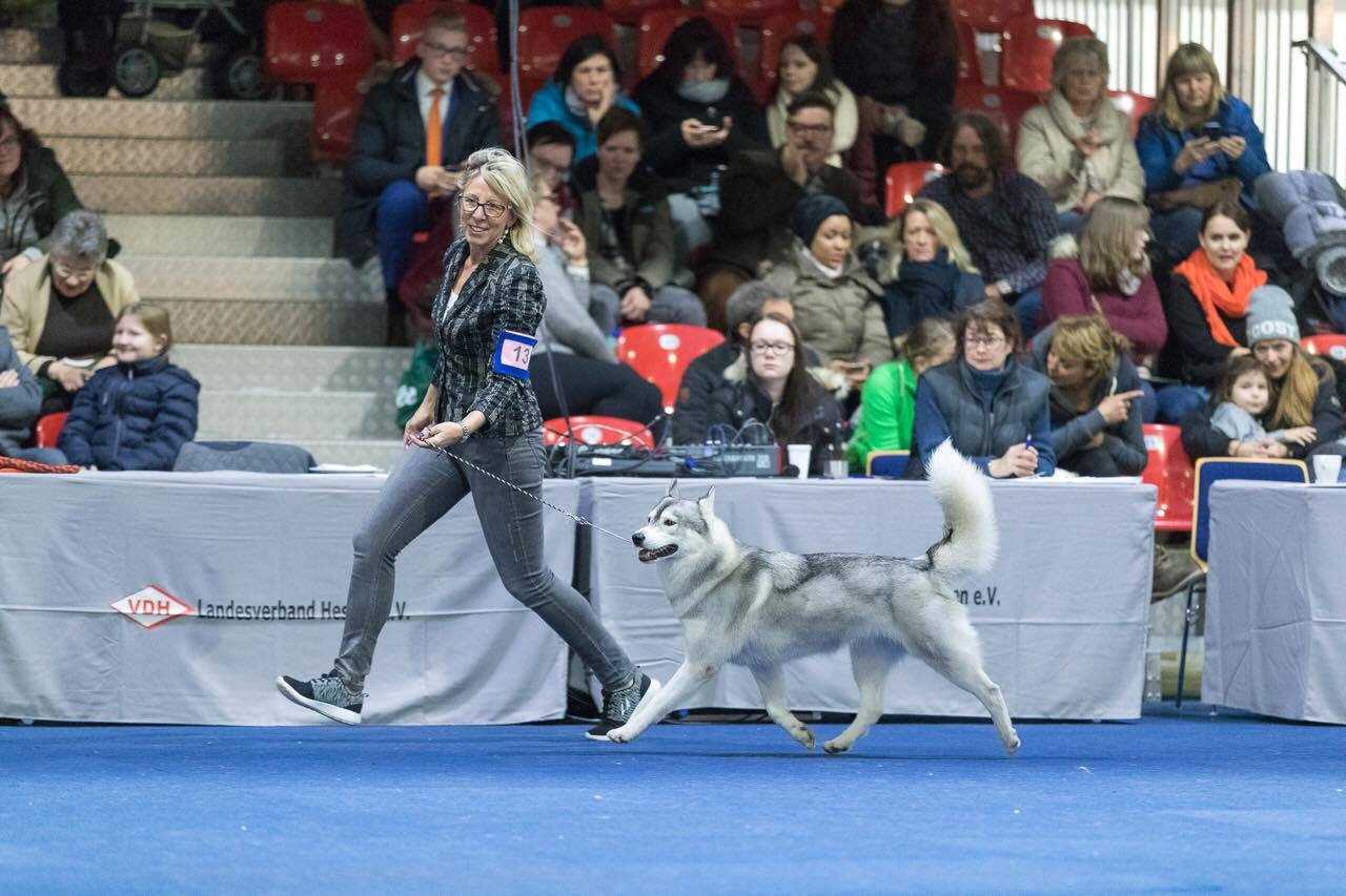 Siberian Husky - Akima Kassel BIS 2017 - Siberian Husky Züchter