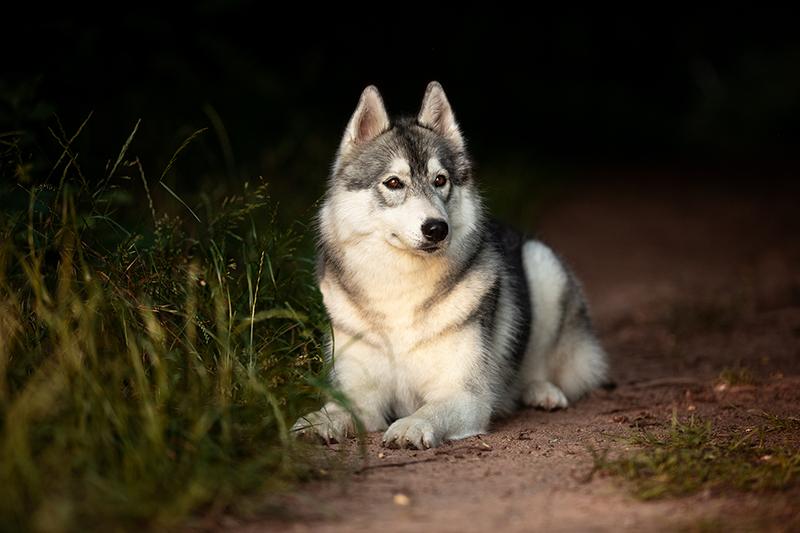 Mountainpeak's Snowdogs - Siberian Husky Züchter - Lubaya